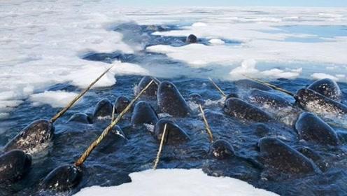 生活在北极的独角鲸,牙齿竟比黄金贵,一根价值连城!