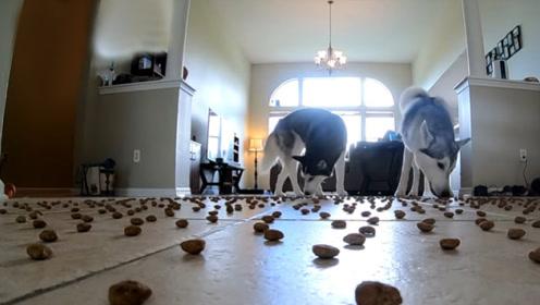 在地上摆1000块饼干,二哈会有何反应?网友:吃货本狗无疑!