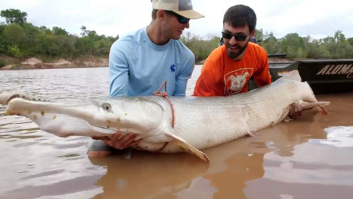 凶猛的超级大鱼被捕获,七八个壮汉折腾半天才弄上岸