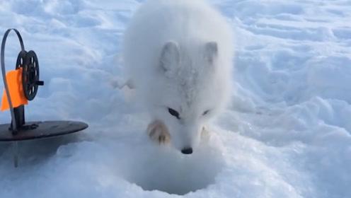 小狐狸偷鱼被抓,想出一招逗笑猎人,硬汉猎人送上小鱼