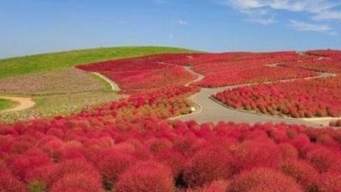 这种草在我国用来扫地,在日本却价值翻倍,成为网红景点