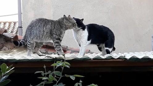两只猫在屋顶打架,咬的满嘴都是毛,原谅我不厚道的笑了