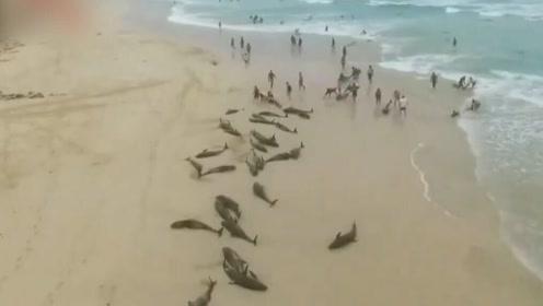 痛心!136只海豚在西非搁浅死亡 或因领队迷失方向