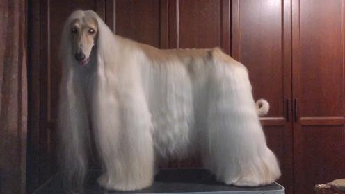 阿富汗猎犬美美哒
