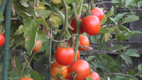 """西红柿和""""它""""是天生一对,补钙又有营养,孩子可常吃,促进发育"""
