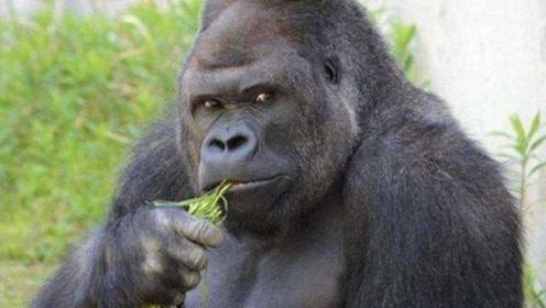 全球首只拥有自由权的猩猩:终于结束禁闭生活,远赴美国人猿中心