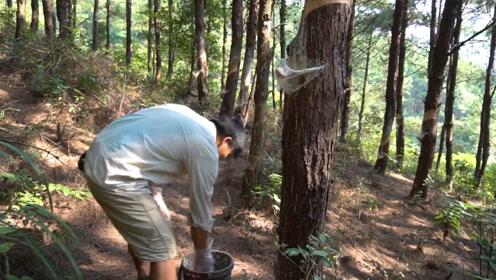 承包了200亩山林,男子独居深山创业!每天割这东西也能致富?