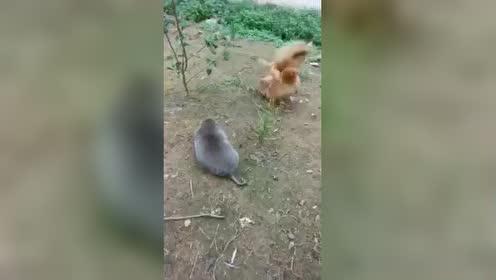 鼠鸡大战,结局谁知道.
