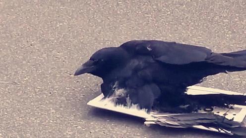 都说乌鸦聪明,可这只大街上被粘鼠板粘住,网友:蠢得可爱!