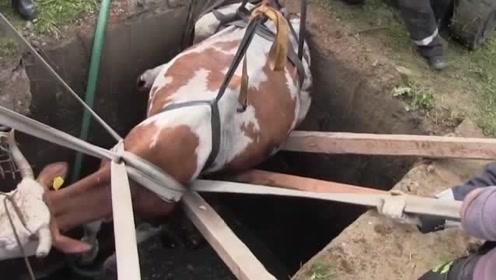 落入水中危在旦夕的小牛,最后怎么样了?看完太揪心!