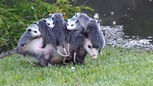 母爱的重量,负鼠妈妈驮着孩子外出,宝宝齐溜溜挂背上