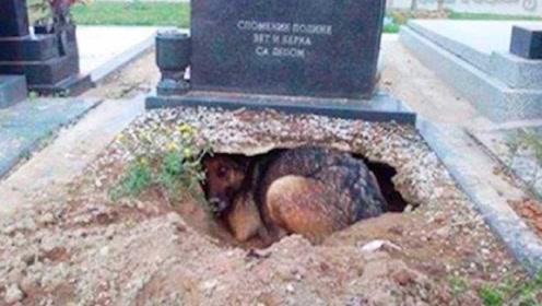 母狗死守主人墓穴不愿离开,以为它太过伤心,最后发现不简单