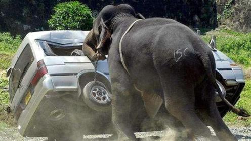 如果大象和坦克对撞,谁的力量更大?看完长知识了!