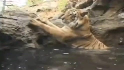 老虎泡澡,这话面太美,实在是不敢看呀!