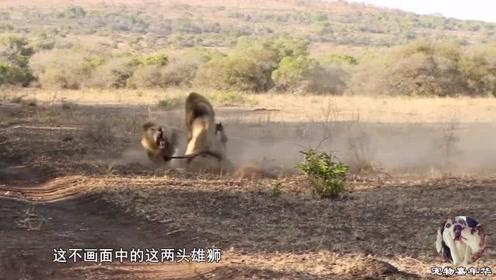 雄狮争霸生死决斗,激战7分钟看呆雌狮,下一秒是这样