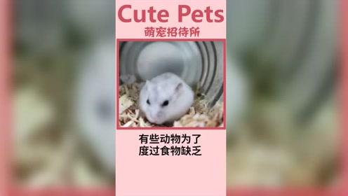 仓鼠真难养,各种要求。
