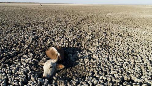 干旱让数百头牛马陷入泥泞,等待死亡,秃鹫悠闲的等在一旁!
