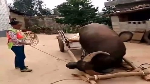 养了五年的水牛,不仅干活任劳任怨,还十分的聪明!
