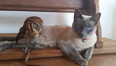 把猫咪和猫头鹰放到一起,会发生什么?结果将颠覆你的三观