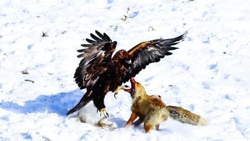 一只狐狸寻食,却不想金雕守株待兔,下一秒直接开打!