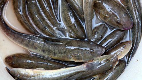 世上最顽强的鱼!离开水还能活上四年,常常被非洲人从土里挖着吃