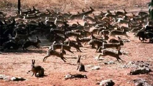 为解决澳洲泛滥成灾的兔子,直接出动轰炸机,四川人:暴殄天物