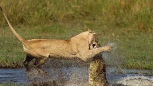 两只狮子过河,遭遇鳄鱼偷袭,其中一只毫无还手之力死于鳄口!