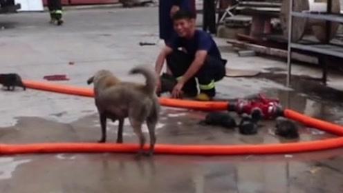 消防员从火场救出5只小奶狗,狗妈妈跑上前去,下一秒好暖
