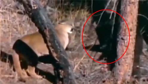 小熊崽遇上美洲狮,小熊主动发起攻击,美洲狮竟然被打的落荒而逃