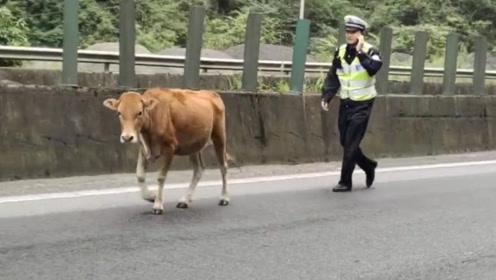 """高速路上跑来一头牛 昭通交警变身""""牛倌""""赶牛"""