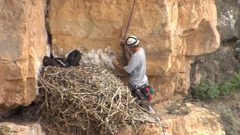 """动物学家是怎么研究金雕的?原来趁大鸟不在,来偷偷""""欺负""""雏鸟!"""