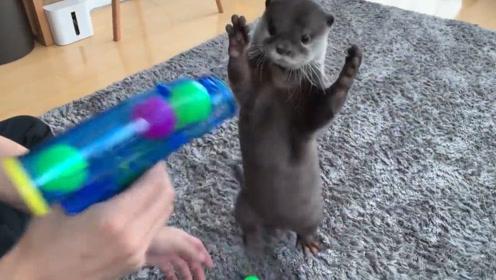 小水獭太萌了,主人拿起枪喊不许动!水獭就举手投降