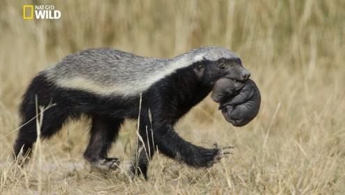 """史上最无所畏惧的动物,没有东西是它害怕的,一生都在""""打架""""!"""