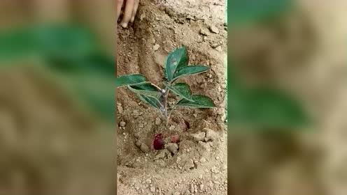 原来苹果树是这样种的,树苗拔下还不耽误吃苹果,太有才了!