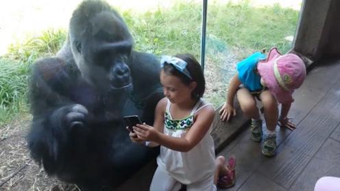 小女孩教黑猩猩玩手机,结果下一秒,场面瞬间失控!