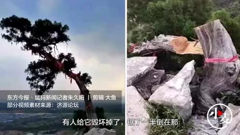 """百年迎客柏树被人""""腰斩"""",济源市森林公安发布悬赏通告"""
