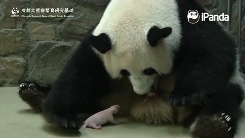熊猫妈妈产下双胞胎,咻得一下弹出来,看着好危险
