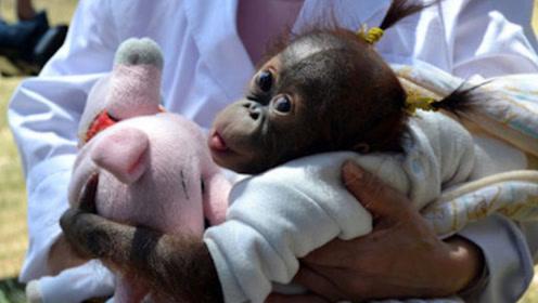 猩猩和婴儿一同长大,误以为自己也是人类,结局让人泪目!