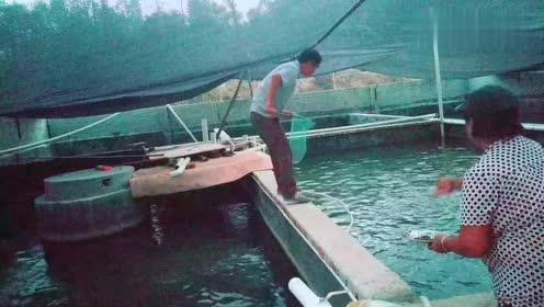 在水泥池养这种鱼,高密度养殖,,快卖的时候就鱼就烂身。