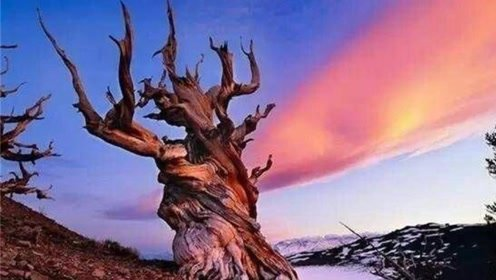 了解世界4大古老的树,都活了上千年,其中最老的达到9500年