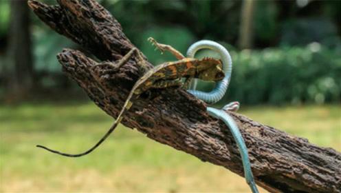 """为什么野外有钻石的地方,总是有毒蛇守护?网友:""""护宝神兽""""!"""
