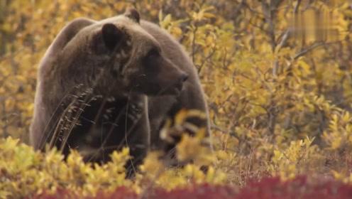 小松鼠对灰熊来说只是零食,想吃点零食需要耗费很大的体力