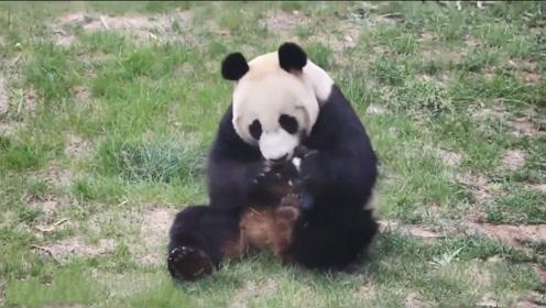 """鸟儿偷啄熊猫毛,当场被抓,大熊猫开始上演""""辣手摧鸟"""""""