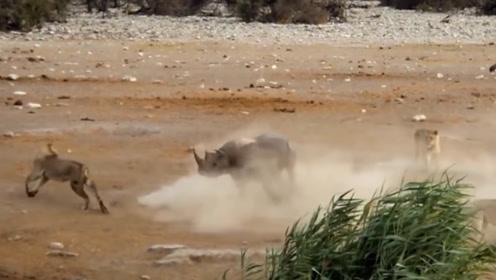 狮子围攻落单犀牛,可接下来却让人哭笑不得,网友:狮脸都丢尽了