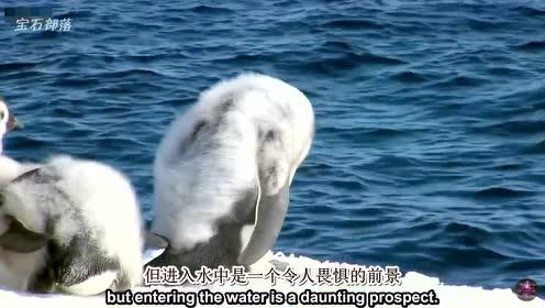 当掠食者来袭,稚嫩的小企鹅们是如何自救的