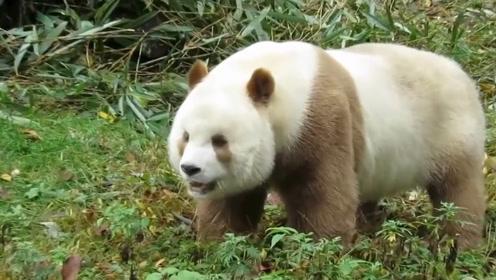 """秦岭地区发现一只""""独特熊猫"""",熊猫中的极品,镜头记录下全过程"""