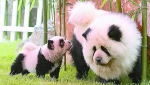 外国人眼中的大熊猫什么样?看到他们的做法,感觉我们真幸福!