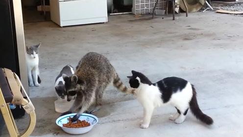 三只猫咪的猫粮被浣熊抢夺了,临走又抓一大把,网友:要脸吗?