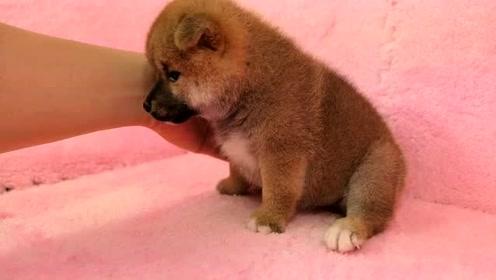 今天刚接回家的赛级赤色柴犬宝宝,这小黑嘴真真的萌翻了!
