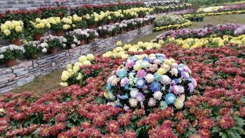 大叔养菊20年种出百种菊,来川培育新品种:一株苦蒿出7种花